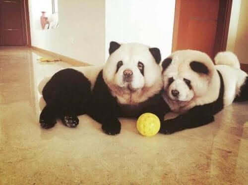 To store hunde på gulv med bold