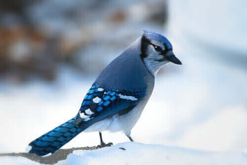 Blå fugl i sne
