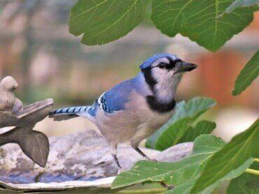 Den blå skovskade: En nordamerikansk perle