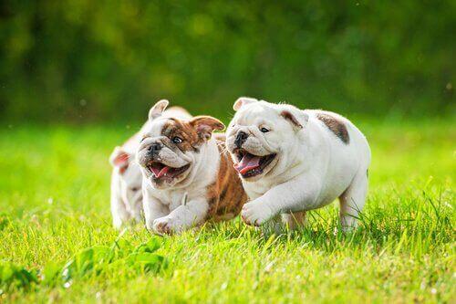 Fladnæsede hunde løber på græs