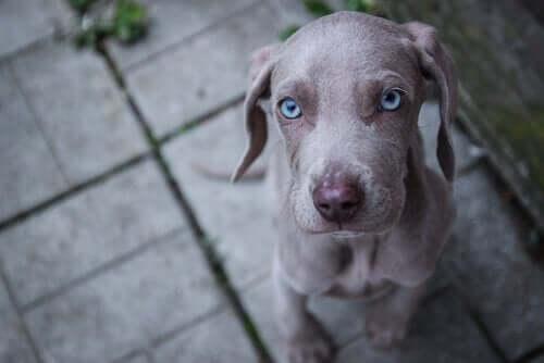 Forskellige hunderacer med blå øjne