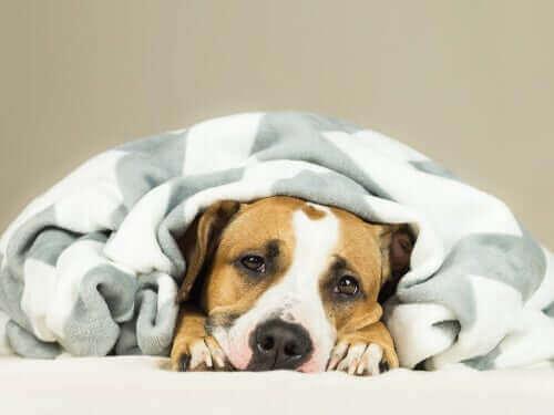 Hund pakket ind i tæppe illustrerer forkølelse hos hunde