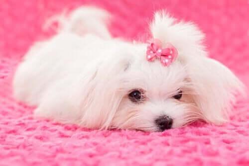 Derfor bør du ikke farve pelsen på et kæledyr