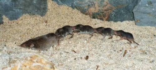 Spidsmus er insektædende pattedyr