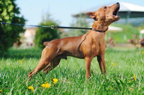 Hunde kan lide af panikanfald ligesom mennesker