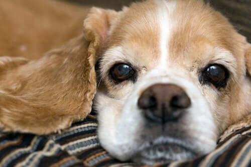 Nærbillede af hunds ansigt