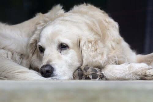 Trist hund ligger ned