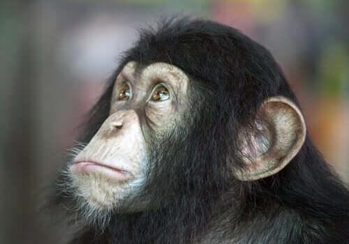 Hund eller chimpanse: Hvilken er klogest?