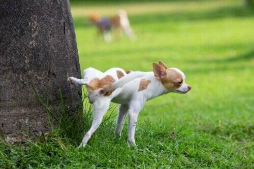 Tre reproduktive sygdomme, der kan påvirke hanhunde