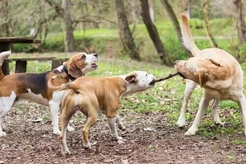 Det kan være farligt at lade hunde lege med pinde