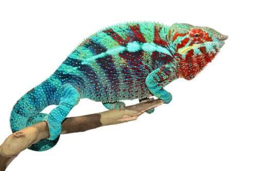 Hvorfor er det, at kamæleoner skifter farve?