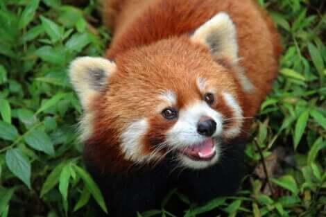 Den røde panda og dens adfærd