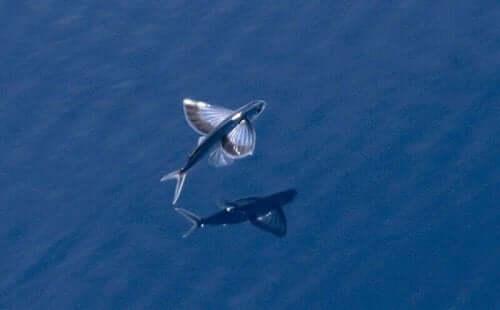 Løs om tre fantastiske arter af flyvefisk