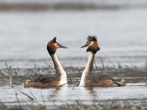 To fugle på vand