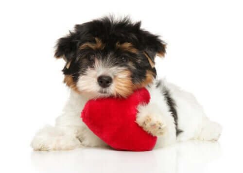 Seks tips til at passe på en hunds hjerte