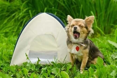 Hund med telt viser, hvordan det er at campere med en hund