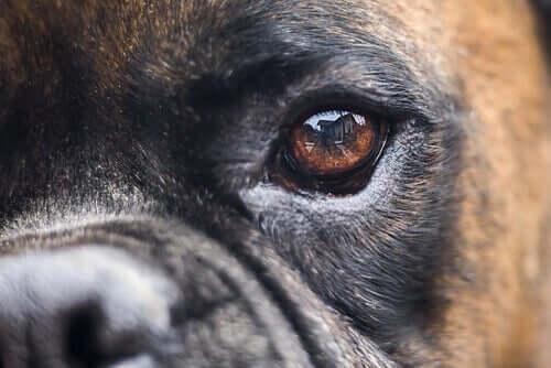 Alternative behandlinger af blindhed hos hunde