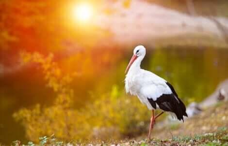 Stork foran solnedgang