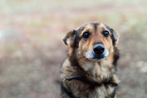 Bange hund illustrerer OCD hos hunde
