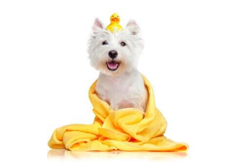 Hund med badeand og håndklæde, da man kan bade kæledyr med vådservietter