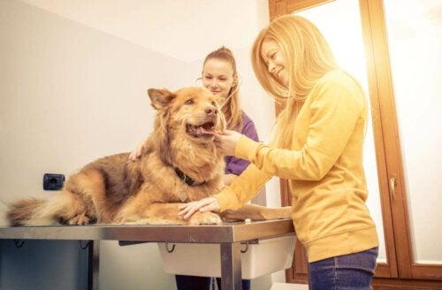Hund til dyrlæge tjekkes for problemer med vejrtrækningen hos hunde