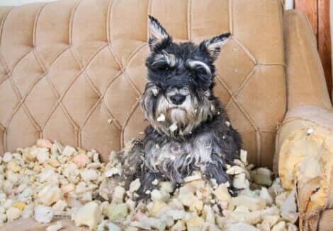 Ødelagt sofa illustrerer OCD hos hunde