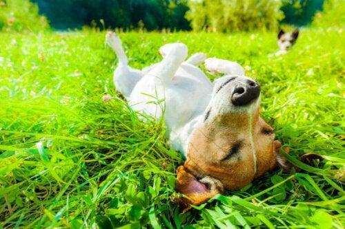 Hund solbader og nyder fordelene ved solen for kæledyr