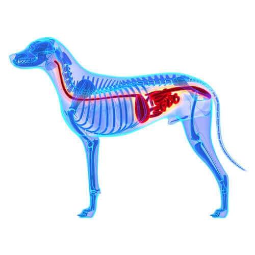 Tarmmikrobiota eller mikrobiom er en gruppe af gavnlige mikroorganismer, der lever i hundens tarm, som kan ses på denne illustration