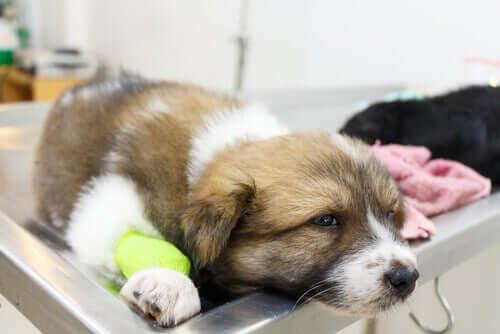 Hvalp ved dyrlæge grundet kramper hos hunde