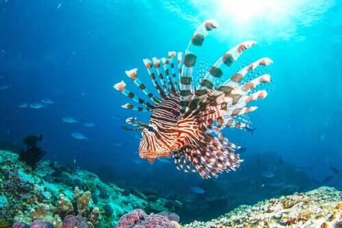 Invasionen af den indiske dragefisk: Middelhavets nye beboer
