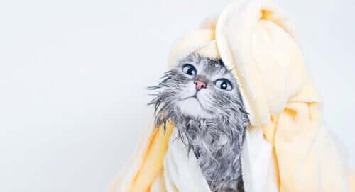 Kat med håndklæde om sig