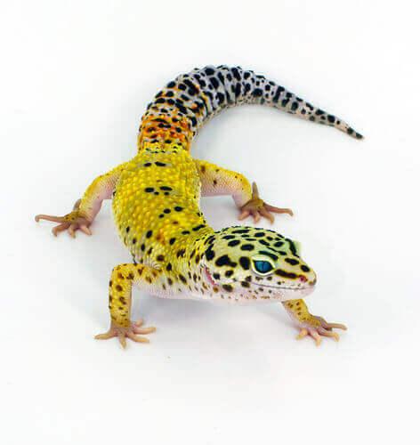 Billede af leopardgekkoen