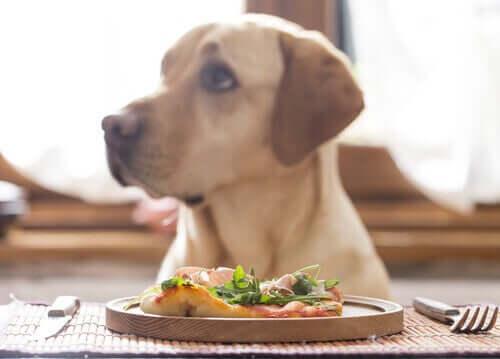 Er det sundt, hvis hunde spiser en vegansk kost?