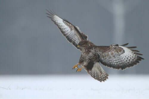 Ørn med vingerne bredt ud