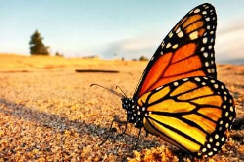 Monark sommerfuglen og dens fantastiske vandringer