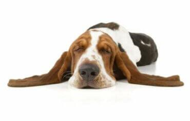 Narkolepsi hos hunde - definition og kendetegn