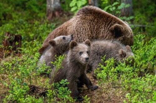 En bjørnefamilie viser, hvordan bjørne passer deres unger