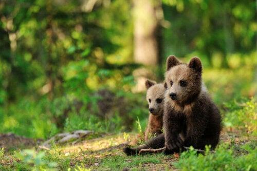 To bjørneunger