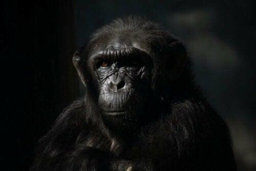 Chimpanse i mørke