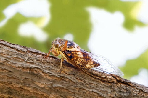 Hvorfor synger cikader om sommeren?