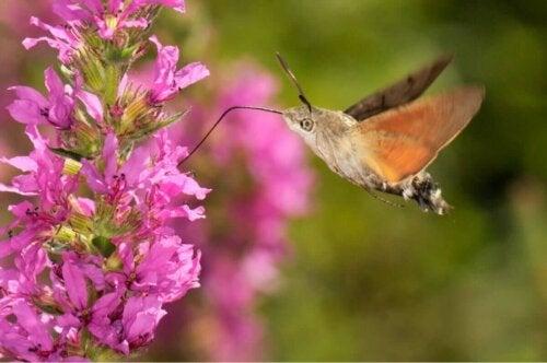 Duehale ved lyserøde blomster