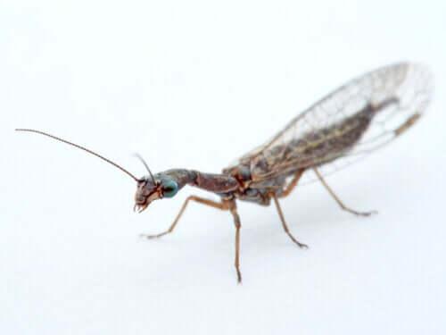 Kontrolinsekter til biologisk skadedyrskontrol