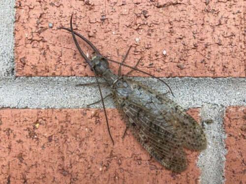 Eksempel på harmløse insekter, der ser skræmmende ud
