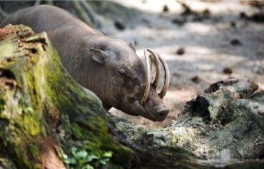 Hjortesvinet: Oprindelse og levested