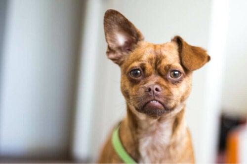 En hunds oprindelse ifølge dens ører