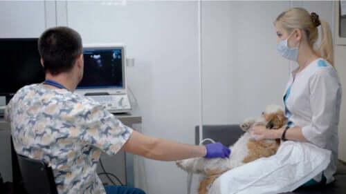 Dyrlæger scanner hund for væske i bughulen hos kæledyr