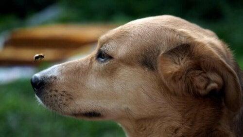 Sådan kan man behandle insektbid og -stik på hunde