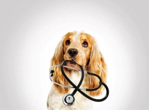 Hund med stetoskop symboliserer akut pleje til små dyr