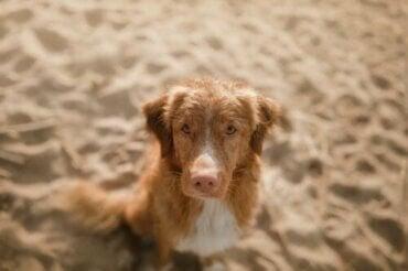 Lupus hos hunde: Årsager og symptomer