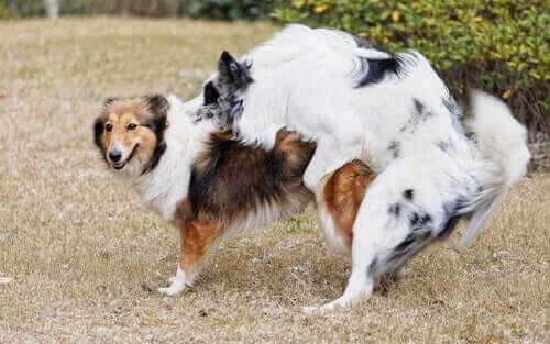 Sådan opfører hunde sig efter kastration